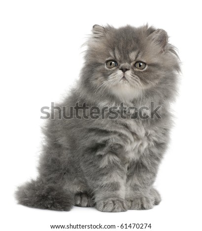Persian kitten, 2 months old, sitting in front of white background - stock photo
