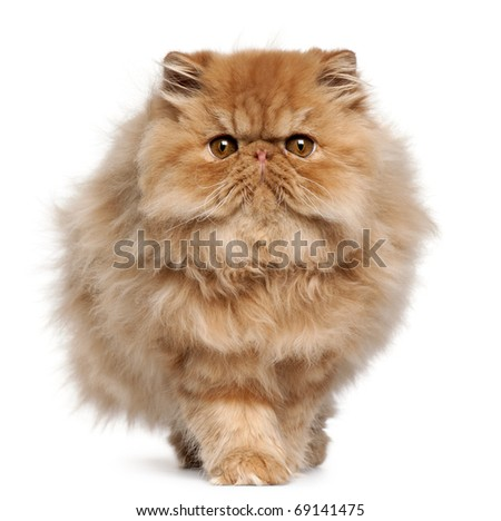 Persian kitten, 4 months old, walking in front of white background - stock photo