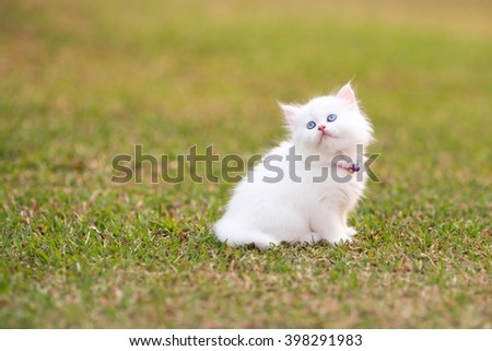 Persian kittens white color - stock photo