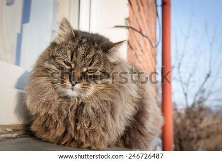 Persian Longhair cat - stock photo