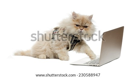 Persian pawing at a laptop - stock photo