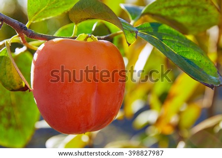 persimmon khaki fruit in the field tree with leafs - stock photo