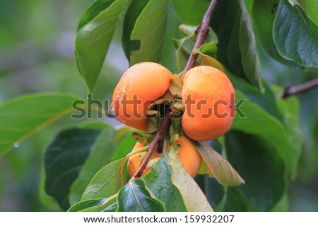 Persimmon tree and bright orange persimmons contrast beautifully with their green leaves. It's rain in Thailand - stock photo