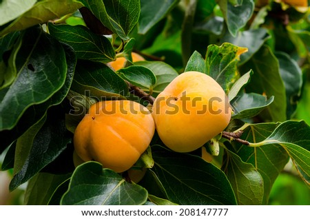 Persimmon tree with fruit in the orchard - stock photo