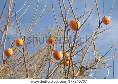 Persimmon tree with fruits. - stock photo