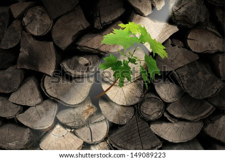 Persistence and determination business concept with chopped trees as firewood with an emerging new tree growing out of the dead wood as an icon of unstoppable aspirations and hope for future success. - stock photo