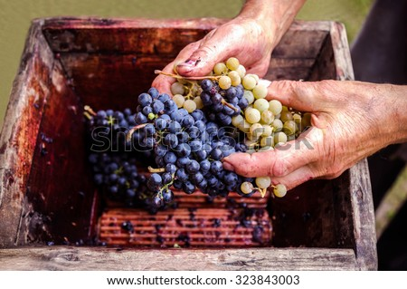Person putting grapes in old manual press for grapes crushed - stock photo