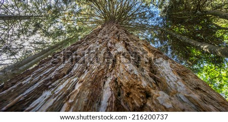 Perspective view of large Sequoia tree - stock photo