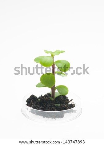 perspective view of petri dish with a small sprout of a leafy plant emerging from a clump of dirt, against a white background - stock photo