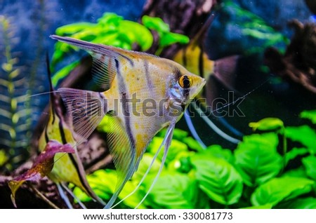 Peruvian angelfishes in artificial isotope - stock photo