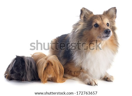 Peruvian Guinea Pig and shetland sheepdog in front of white background - stock photo