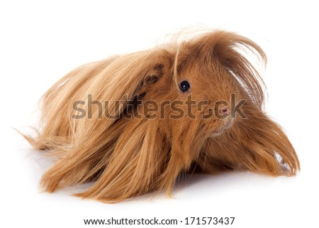 Peruvian Guinea Pig in front of white background - stock photo