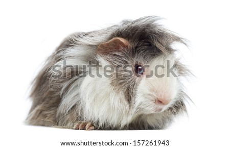 Peruvian Guinea Pig, isolated on white - stock photo