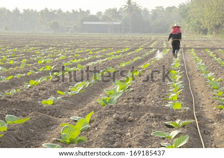 pesticide spraying on tobacco field  - stock photo