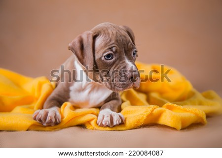 Pet American Pit Bull Terrier puppy cute - stock photo