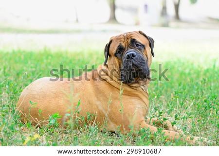 pet large red dog bullmastiff  lying on the green grass - stock photo