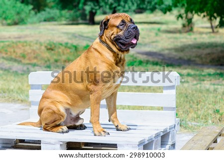 pet large red dog bullmastiff sitting on white bench - stock photo