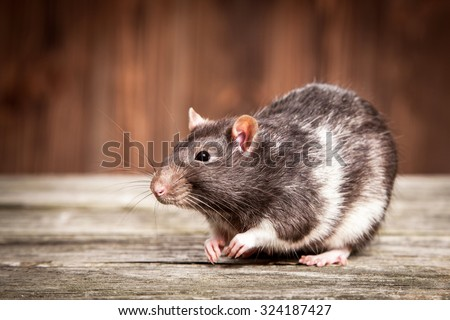 Pet rats on a wooden background - stock photo