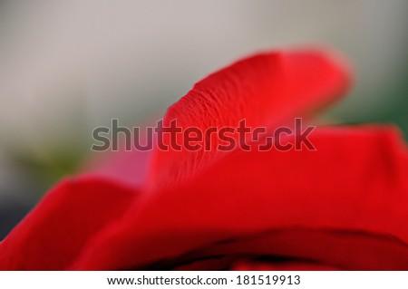 Petal of red rose. Macro - stock photo