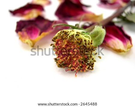 Petals and rose on a white background - stock photo