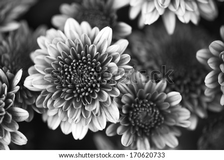 Petals of a beautiful flower on a black background in black and white - stock photo