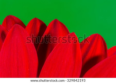 Petals of a red Chrysanthemum Blossom with a contrasting green background and copyspace - stock photo