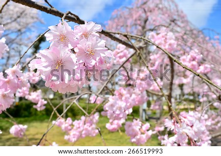 Petals of cherry blossoms - stock photo