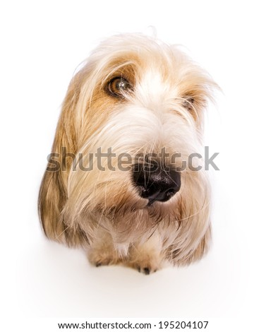 petit basset griffon vendeen dog head shot with funny big nose isolated on white - stock photo