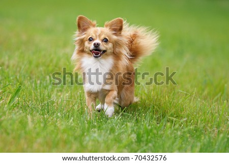 petite Chihuahua  happily on a cloudy day above the meadow - stock photo