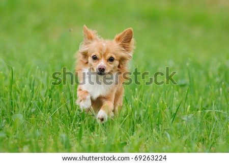 petite Chihuahua runs on cloudy day in the meadow - stock photo