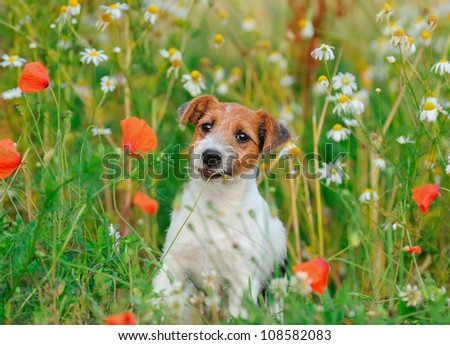 petite Jack Russell Terrier puppy 11 weeks - stock photo