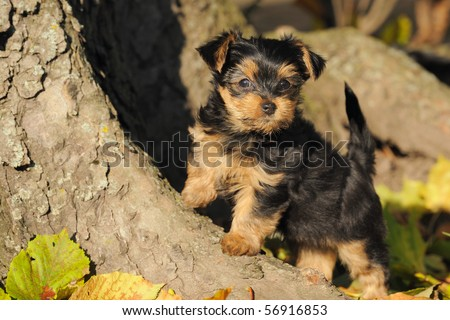 petite Yorkshire terrier puppy 7 weeks plays in the garden - stock photo