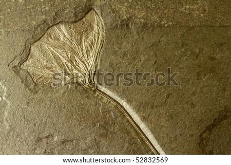 Petrified prehistoric Water Lily - stock photo