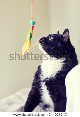 pets and playing concept - black and white cat playing with feather toy - stock photo