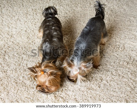 Pets. Two yorkshire terriers are eating together  - stock photo