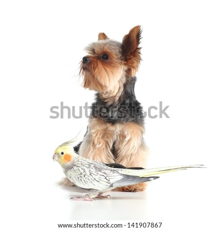 Pets yorkshire terrier dog and cockatiel bird posing together isolated on a white background - stock photo