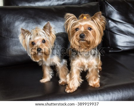 Pets. Yorkshire terriers are sitting on the black sofa - stock photo