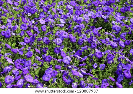 Petunia - stock photo