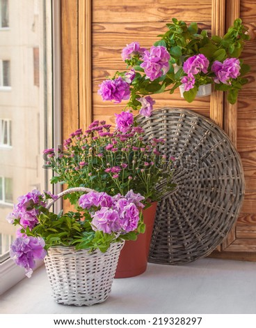 Petunia and chrysanthemums in baskets on the balcony. Balcony seasonal gardening - stock photo