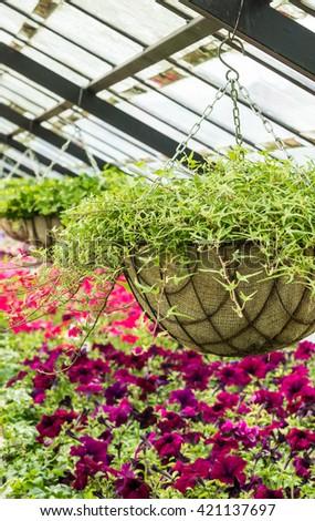 Petunia flowers seedlings in the modern greenhouse in spring - stock photo