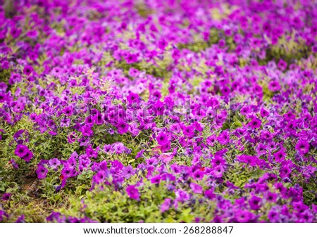 Petunia - perennial herb of the family Solanaceae, could be used as background - stock photo