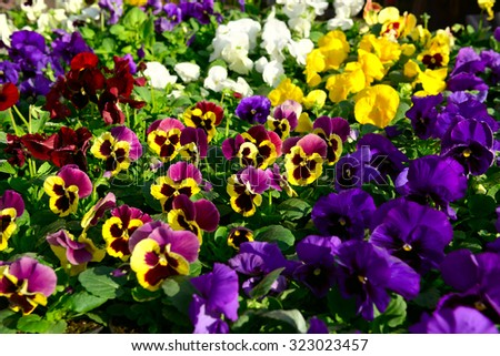 Petunias flowers in different colors - stock photo