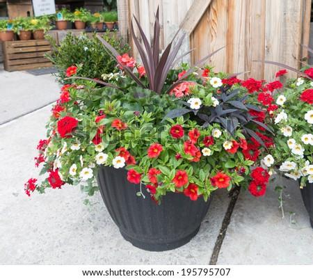 Petunias in planter - stock photo