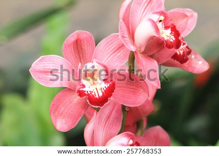 Phalaenopsis,Moth Orchid flowers,beautiful red with yellow flowers blooming in the garden - stock photo