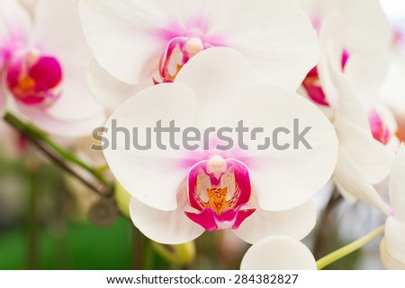 Phalaenopsis orchid in garden, white orchid - stock photo
