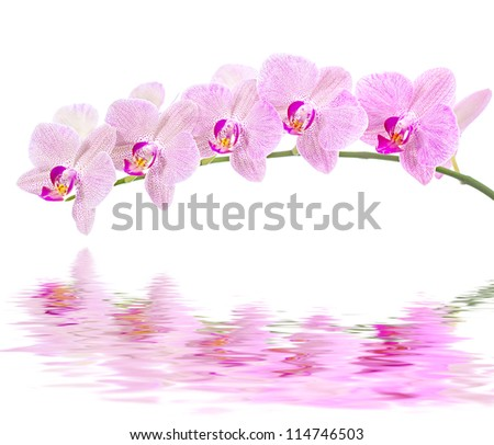 Phalaenopsis. Orchid on white background and water reflection - stock photo