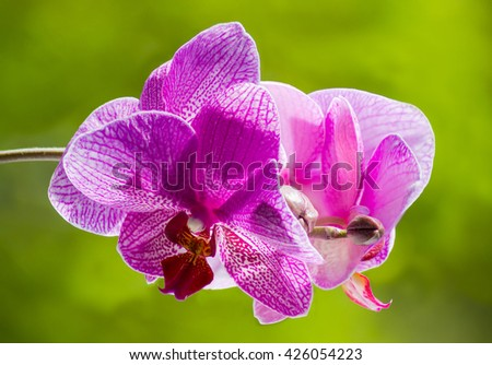 Phalaenopsis orchid with purple flowers on a green blurred background closeup - stock photo