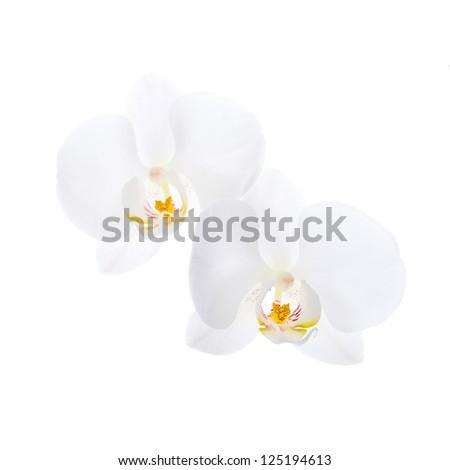 Phalaenopsis. Two white orchid flowers isolated on white background - stock photo