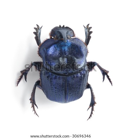 Phanaeus lancifer - stock photo