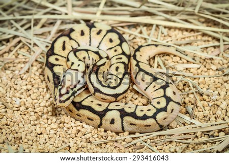 phantom ball python (Python regius) - stock photo